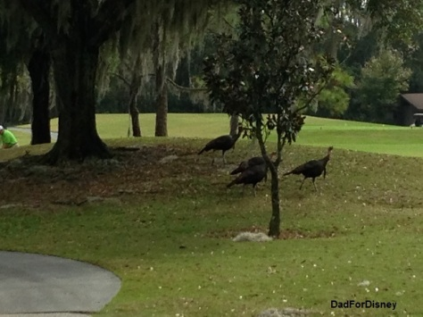 Turkeys on the course
